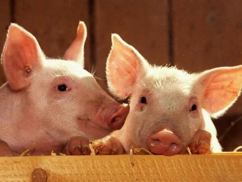 Свин фото
