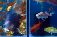 У рыб нашли признаки сознания