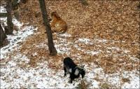 Амурский тигр подружился с отданным ему на съедение козлом