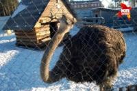 В Тюменском зоопарке страусиху-изгоя приютили козлы