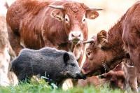 На немецкой ферме дикий кабан поселился в стаде коров