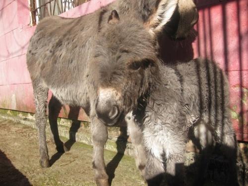 В парке львов «Тайган» пара карликовых осликов принесла потомство