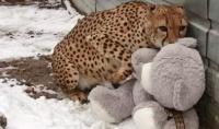 В Харьковском зоопарке живет ласковый гепард, который дружит с плюшевым мишкой