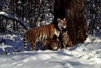 Выпущенная на волю тигрица Золушка стала мамой двух тигрят
