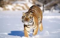 Программа выращивания тигров в неволе оправдала себя