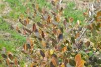 В отделении «Приморское» Никитского сада высадили хурму, оливки и зизифус