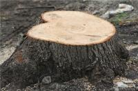 В Керчи возле колледжа незаконно срубили полсотни деревьев