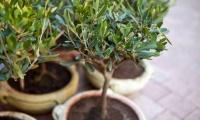 Итальянцы намерены выращивать оливки в Крыму