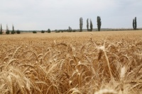 В Крыму в 2017 году урожай зерна составит 1,5-1,6 млн тонн