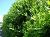 В Ялте в Городском саду высажено 340 кустов лавра благородного