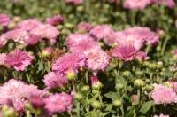 В Никитском ботаническом саду расцвели первые хризантемы