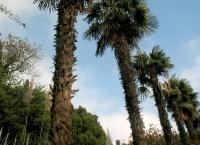 В Ялте в Массандровском и Мисхорском парках высадят 35 пальм