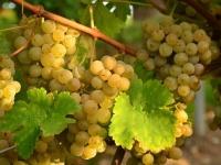 На фестивале «Виноградные сезоны в Алуште» устроят фруктовый баттл