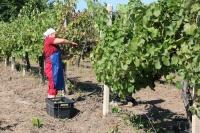 Севастопольские агропредприятия хотят собрать больше 16 тысяч тонн винограда