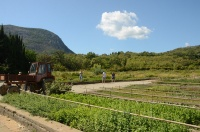 Никитский ботанический сад в одном из своих отделений заложит сады орехоплодных и субтропических плодовых культур и создаст новый пальмарий