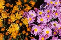 В среду в Никитском саду откроется ежегодный бал хризантем