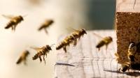 Пчелы учат беспилотники огибать препятствия