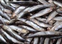 В этом году в Крыму рекордный улов хамсы