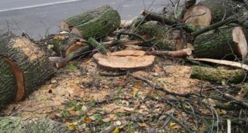В Симферополе собираются снести каждое десятое дерево