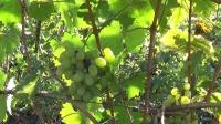 СевГУ может получить землю под виноградный питомник