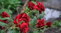 Глава администрации Симферополя задумал вернуть розы на городские клумбы