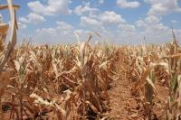 В Крыму из-за засухи погиб урожай зерновых