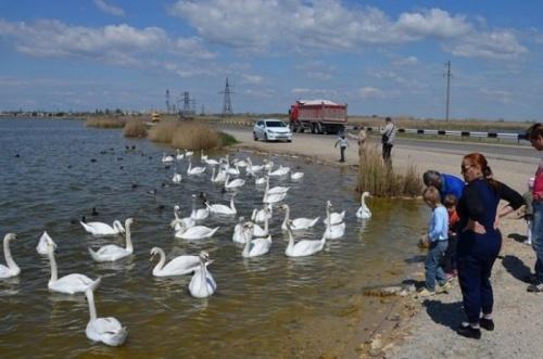 Евпаторийские гаишники запретили туристам кормить лебедей