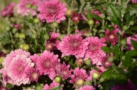 В Никитском саду расцвели первые хризантемы