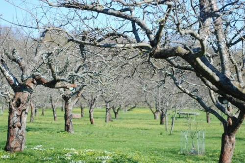 Власти Крыма хотят списать 62,8 га «старых» яблоневых садов