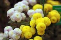 23 октября открывается Бал хризантем «Осенний блюз» в Никитском саду