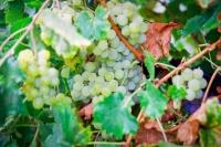 В Севастополе урожайность винограда почти на 50% ниже, чем в среднем по России