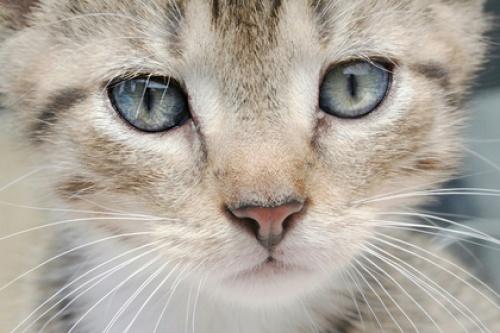 В Китае впервые клонируют котенка