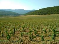 В 2018 году в Севастополе заложили 158 гектаров новых виноградников