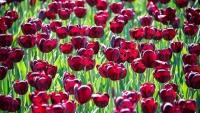 В Никитском ботсаду расцветут 100 тыс тюльпанов