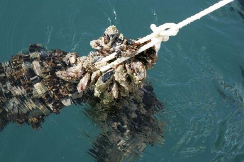 В Севастополе за год предприятия марикультуры вырастили 70 тонн моллюсков