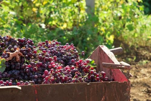 В Севастополе планируют заложить рекордные 510 гектаров новых виноградников