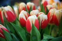 Вандалы массово расхищают цветы с городских клумб в Ялте