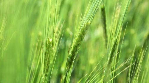Крымские аграрии ожидают рекордного за последние 20 лет урожая зерновых
