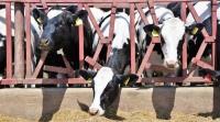Поголовье племенных коров в Крыму выросло почти в три раза с 2014 года