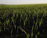 В Крыму 91% площади посевов озимых находится в хорошем и удовлетворительном состоянии