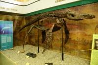 В научном музее Никитского сада впервые в России выставлен скелет ящера плиозавра