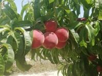 В Севастополе начался сбор персиков