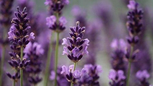 Алуштинский эфиромасличный совхоз-завод выпустил первую партию гидролата лавандового с антисептическими свойствами