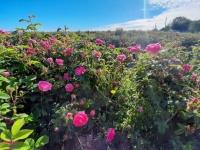 В Крыму розы «пустили под нож»