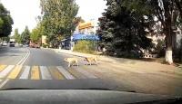 В Севастополе собаки могут научить дорожным правилам людей и котов