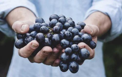 В Севастополе опасаются падения урожая винограда из-за засухи