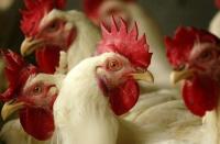 Специалистами ГБУ РК «Евпаторийский городской ВЛПЦ» проводится плановая вакцинация домашней птицы на территории городского округа Евпатория и Черноморского района