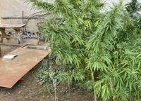 Полицейские нашли плантацию конопли у жителя Феодосии