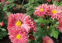 500 сортов и форм хризантемы садовой. Новый рекорд Никитского ботанического сада