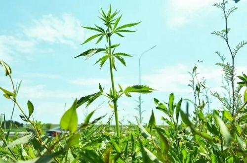 Силовики задержали жителя Джанкойского района с четырьмя килограммами марихуаны